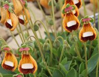 Lustige recht kleine Blumen (alpiner Calceolaria - Walter Simpson) Lizenzfreies Stockbild