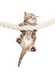 Lustige Schätzchenkatze, die am Seil hängt Stockbilder