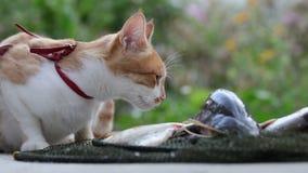 Lustige schöne erstaunliche nette rote weiße Katze im roten Kragen frische Fische am, sonnigen Sommerguten tag essend im Freien stock video footage