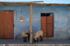 Lustige Schafe auf Front Porch stockbild