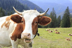 Lustige schauende Kuh Stockbild