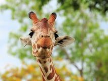 Lustige schauende retikulierte Giraffe Stockfotos