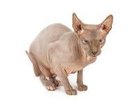 Lustige schauende unbehaarte Sphynx-Katze Stockfoto