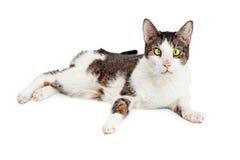 Lustige schielende blinde Katze Lizenzfreies Stockfoto