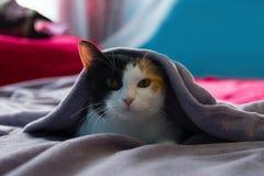 Lustige schläfrige Katze steht unter der purpurroten Decke auf einem Bett still Lizenzfreie Stockfotografie