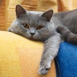 Lustige Schottland-Katze lizenzfreie stockfotos