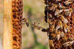 Lustige Situation auf Bienenwabe Lizenzfreie Stockfotografie