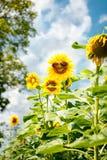 Lustige Sonnenblume mit Sonnenbrille Stockfotos