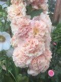 Lustige Stockrosen in einem Garten stockbild