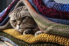 Lustige, unbefriedigte Katze schottische Falte, die für kalten Herbst sich vorbereiten und Winter, wickelt ein und versteckt sich lizenzfreie stockbilder