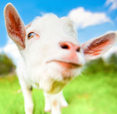 Lustige weiße Ziege Lizenzfreies Stockfoto