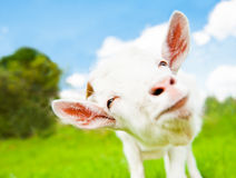 Lustige weiße Ziege, Abschluss oben Lizenzfreie Stockbilder