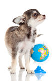 Lustige Welpen-Chihuahua Lizenzfreie Stockfotografie