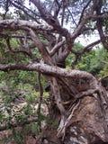 Lustige Wurzeln des Tanzenbanyanbaumes Lizenzfreie Stockfotos