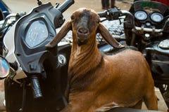 Lustige Ziege, die auf einem Roller in Mumbai, Indien sitzt lizenzfreie stockbilder