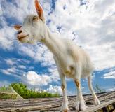 Lustige Ziege, die auf Scheunendach auf Landbauernhof steht Nette und lustige weiße junge Ziege auf einem Hintergrund des blauen  Lizenzfreie Stockfotografie