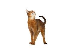 Lustiger Abyssinier Cat Standing und Schauen oben lokalisiert auf Weiß Stockfotos