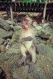 Lustiger Affe. Lizenzfreie Stockbilder