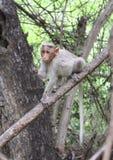 Lustiger Affe, der auf dem Baum aufwirft Lizenzfreie Stockfotografie
