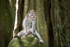 Lustiger Affe, der auf Stein sitzt Stockfoto