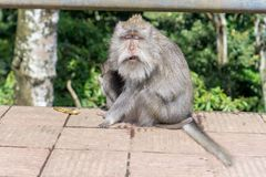 Lustiger Affe, der ein Gesicht macht Stockbild
