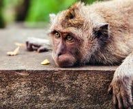 Lustiger Affe, der eine Banane isst Stockfotos