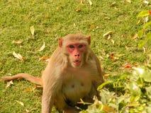 Lustiger Affe, der geradeaus Kamera aufpasst Lizenzfreie Stockfotos