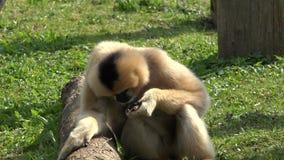 Lustiger Affe, der in der grünen Natur, Tier zurück sich dreht für Privatleben isst stock footage