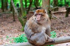Lustiger Affe, der im tropischen Wald sitzt Stockbild