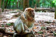 Lustiger Affe, der im tropischen Wald sitzt Stockbilder
