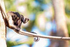 Lustiger Affe, der seine Geschlechtsteile betrachtet Stockfoto