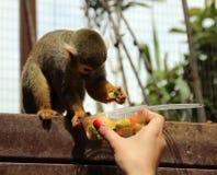 Lustiger Affe isst Lebensmittel von der Hand des Mädchens Stockbilder