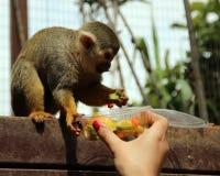 Lustiger Affe isst Lebensmittel von der Hand des Mädchens Stockfoto