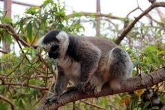 Lustiger Affe isst Lebensmittel von der Hand des Mädchens Lizenzfreies Stockbild
