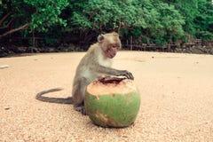 Lustiger Affe mit einer Kokosnuss Stockbild