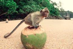 Lustiger Affe mit einer Kokosnuss Stockfoto