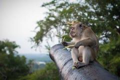 Lustiger Affe sitzt auf der Kanone im Nationalpark und hält grüne Sprösslinge Lizenzfreies Stockbild