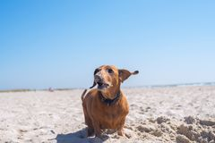 Lustiger alter Hund, mit den Fliegenohren Lizenzfreies Stockfoto