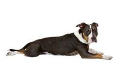 Lustiger amerikanischer Staffordshire-Terrier lizenzfreie stockfotos