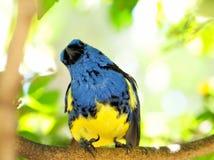 Lustiger blauer und gelber Finkvogel Stockfotos
