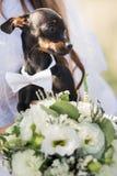 Lustiger Chihuahua witn weddig Blumenstrauß lizenzfreie stockfotografie