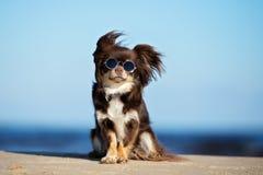 Lustiger Chihuahuahund in der Sonnenbrille, die auf einem Strand sitzt stockfoto