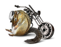 Lustiger Chipmunkradfahrer mit Motorrad Stockfotografie