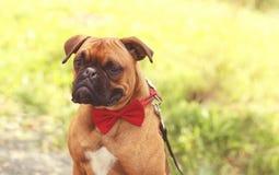 Lustiger fast lächelnder Pug Stockbild