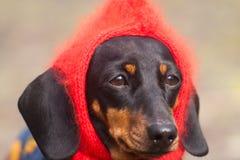 Lustiger gekleideter Dachshundhund mit rotem Hut auf Kopf Stockfotos
