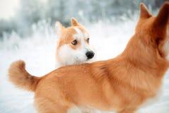 Lustiger glücklicher Pembroke Welsh Corgi Dog Playing, schnelles laufendes im Freien im Schnee, Schneewehe am Winter-Tag lizenzfreies stockfoto