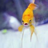 Lustiger Goldfish mit geöffneter schauender Kamera des Munds. Lizenzfreie Stockfotos