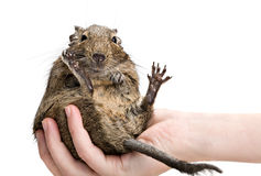 Lustiger Hamster, der auf menschlicher Hand sitzt Lizenzfreie Stockfotos