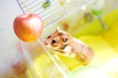 Lustiger Hamster verlässt einen seinen Käfig Stockfotos
