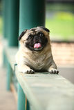 Lustiger Haustierhund Stockbild